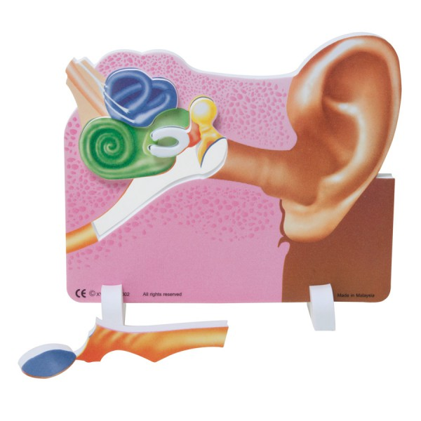 Book Plus Foam Model: Ear